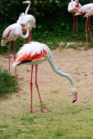 Greater Flamingo  Phoenicopterus roseus Stock Photo - 15969451