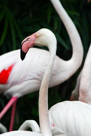 Greater Flamingo  Phoenicopterus roseus Stock Photo - 15956940