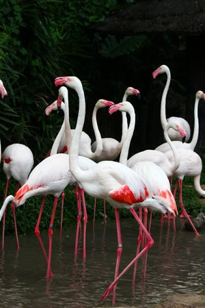 Greater Flamingo  Phoenicopterus roseus  Stock Photo - 15957056