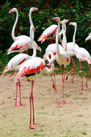 Greater Flamingo  Phoenicopterus roseus Stock Photo - 15957940