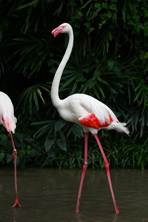 Greater Flamingo  Phoenicopterus roseus  Stock Photo - 15957031