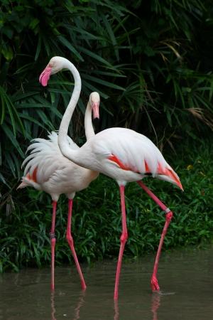 greater: Greater Flamingo  Phoenicopterus roseus