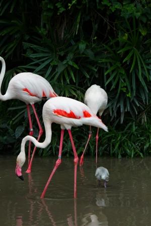 phoenicopterus: Greater Flamingo  Phoenicopterus roseus