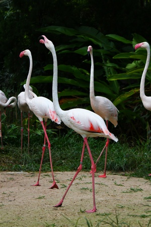Greater Flamingo  Phoenicopterus roseus  photo