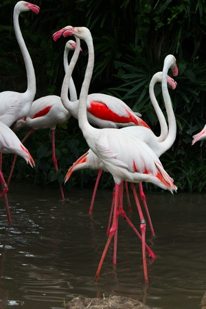 Greater Flamingo  Phoenicopterus roseus  Stock Photo - 15957058