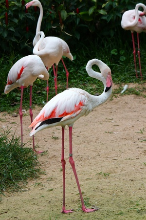 Greater Flamingo  Phoenicopterus roseus  Stock Photo - 15957817