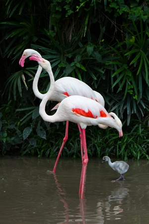 Greater Flamingo  Phoenicopterus roseus  photo