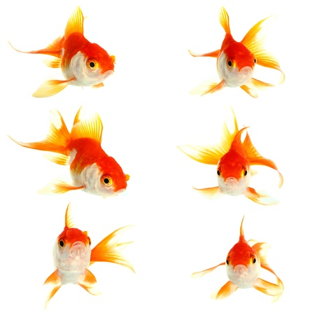 Gold fish  Isolation on the white Stock Photo - 16424778