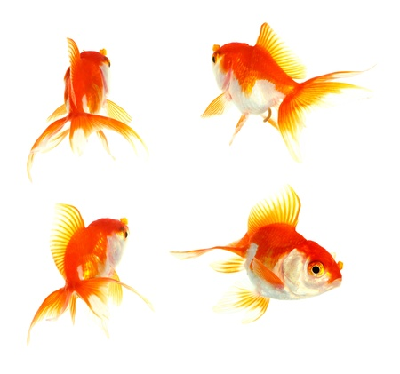 Gold fish  Isolation on the white Stock Photo - 16424777