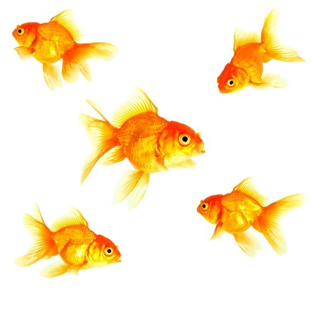 Gold fish  Isolation on the white Stock Photo - 16424783