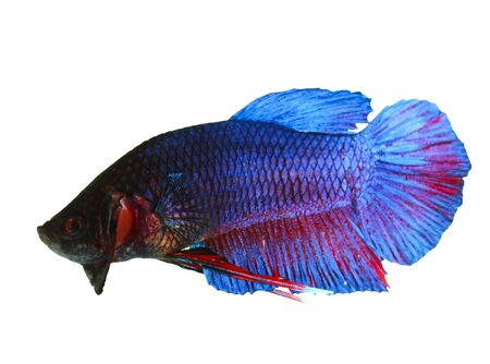 siamese fighting fish , betta isolated on white background Stock Photo - 16424771