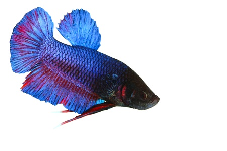 siamese fighting fish , betta isolated on white background Stock Photo - 16424776