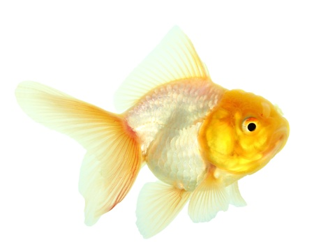 Gold fish  Isolation on the white Stock Photo - 16424659