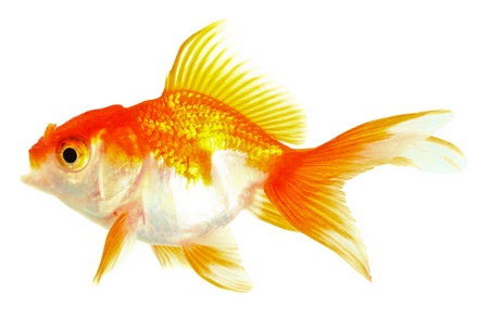 Gold fish  Isolation on the white Stock Photo - 16424656