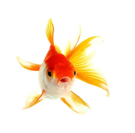 peces de colores: Aislamiento Oro pescado en el blanco