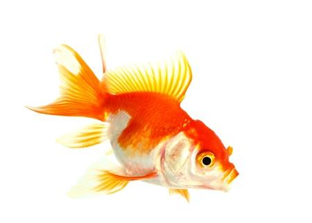 Gold fish  Isolation on the white Stock Photo - 16424654