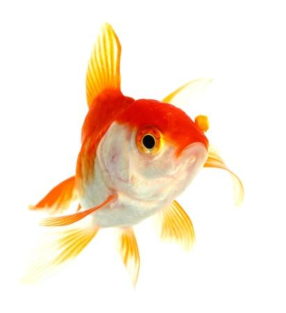 白での金の魚分離