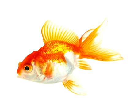 Gold fish  Isolation on the white Stock Photo - 16424658