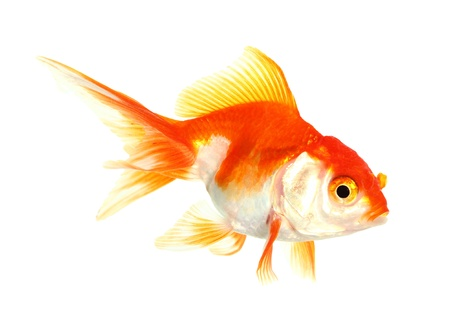 Gold fish  Isolation on the white Stock Photo - 16424657