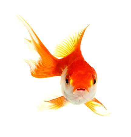 Gold fish  Isolation on the white Stock Photo - 16424653