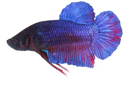 siamese fighting fish , betta isolated on white background Stock Photo - 16424821