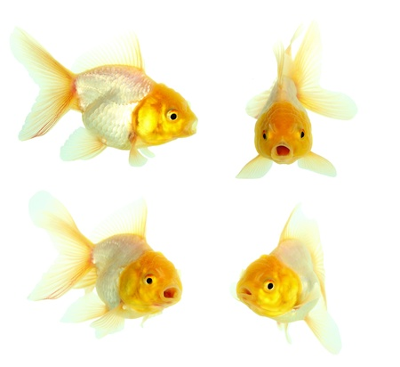 Gold fish  Isolation on the white Stock Photo - 16424819