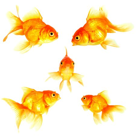 Gold fish  Isolation on the white Stock Photo - 16424818