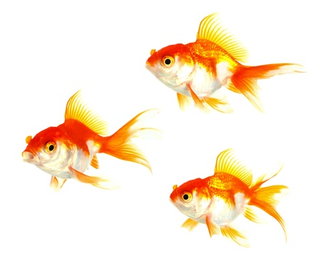 Gold fish  Isolation on the white Stock Photo - 16424774