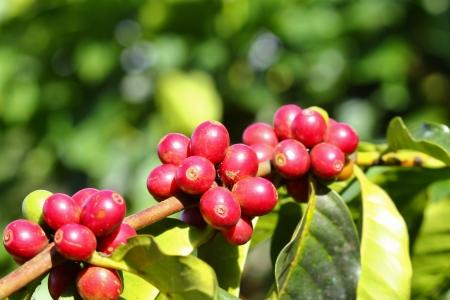 grano de cafe: Café árbol con bayas maduras en la granja Foto de archivo