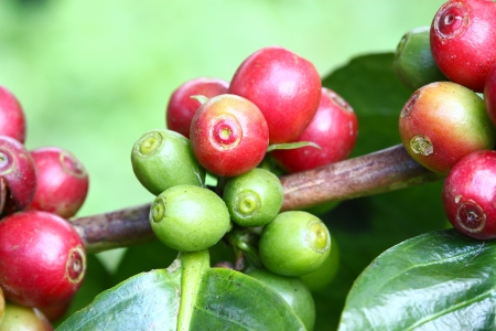 Coffee tree with ripe berries on farm Stock Photo - 16863078