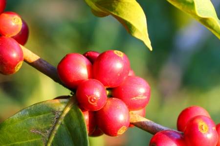 unpicked: Coffee tree with ripe berries on farm