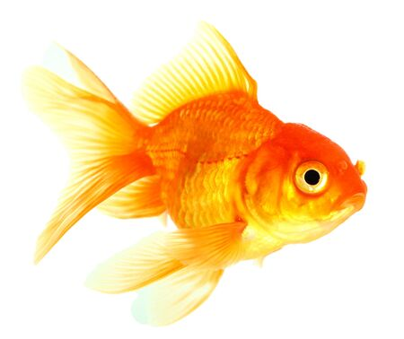 Gold fish  Isolation  on the white Stock Photo - 16863287