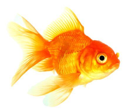 Gold fish  Isolation  on the white Stock Photo - 16863287