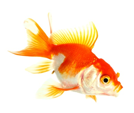 Gold fish  Isolation  on the white Stock Photo - 16863288