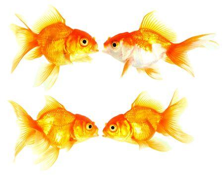 Gold fish  Isolation  on the white Stock Photo - 16863301