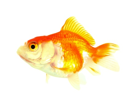 Gold fish  Isolation on the white Stock Photo - 17421993