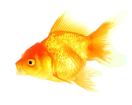 Gold fish  Isolation on the white Stock Photo - 17421998