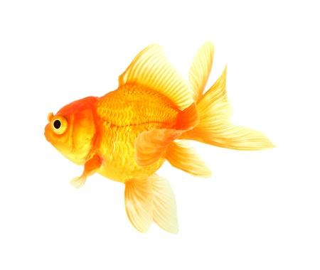Gold fish  Isolation on the white Stock Photo - 17421988