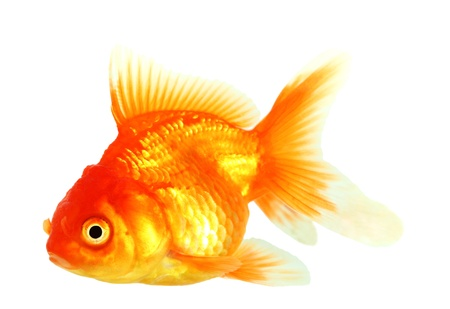 Gold fish  Isolation on the white Stock Photo - 17422063