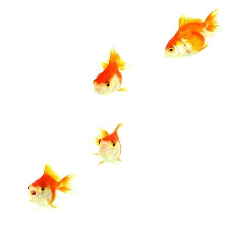 pez pecera: Aislamiento Oro pescado en el blanco