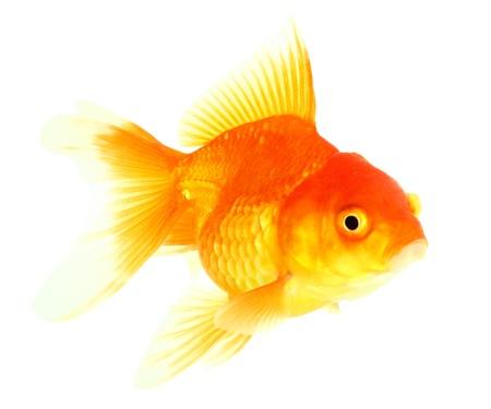 Gold fish  Isolation  on the white Stock Photo - 17422032