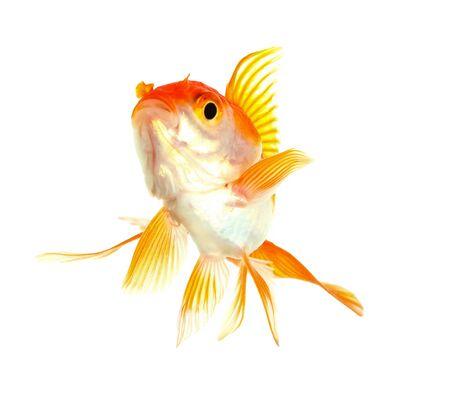 Gold fish  Isolation  on the white Stock Photo - 17422046