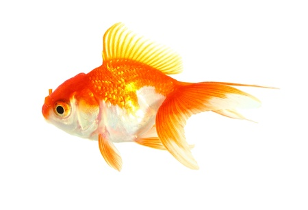Gold fish  Isolation  on the white Stock Photo - 17422061