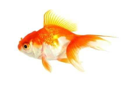 Gold fish  Isolation  on the white Stock Photo - 17422061