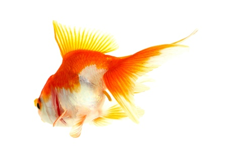 Gold fish  Isolation  on the white Stock Photo - 17422057