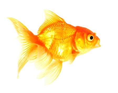Gold fish  Isolation  on the white Stock Photo - 17422060