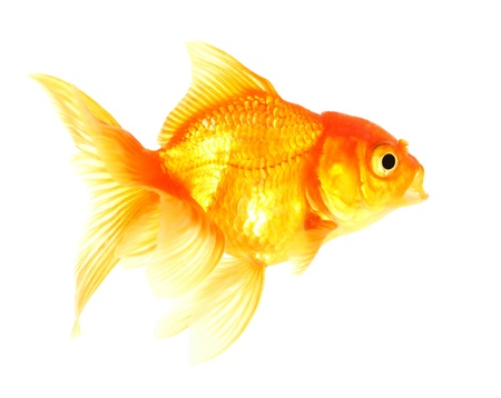 Gold fish  Isolation  on the white Stock Photo - 17422060