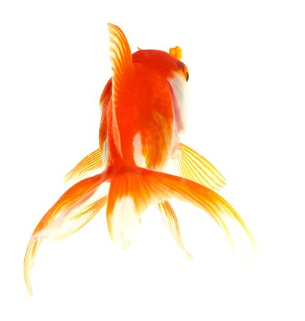 fish tail: Gold fish  Isolation  on the white Stock Photo