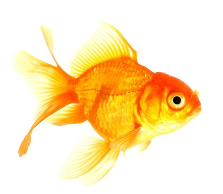 Gold fish  Isolation  on the white Stock Photo - 17422059