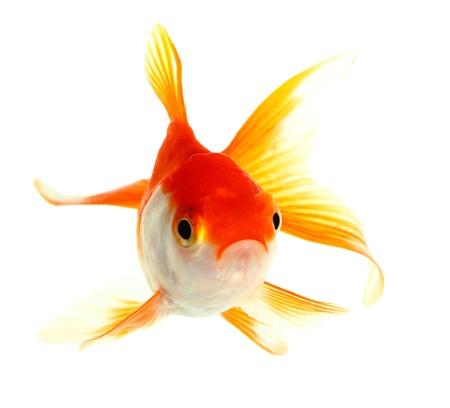 Isolation des poissons d'or sur le blanc